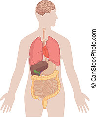 corps, poumons, humain, -, anatomie, cerveau