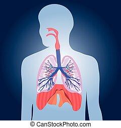 corps, respiratoire, poumons, système, illustration, vecteur, humain
