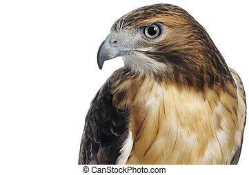 corps, rouge-coupé queue, prise vue tête, supérieur, isolé, arrière-plan., blanc, faucon