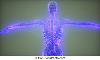corps, sanguine, humain, vaisseaux