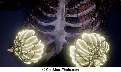 corps, science, anatomie, glande, humain, mammaire, rayon x,...