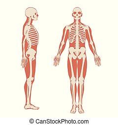 corps, squelette, humain, hommes, illustration, silhouette., anatomie, fond, devant, blanc, vue., côté