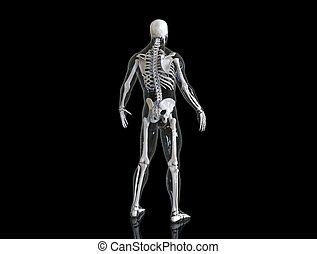 corps, squelette, render, humain, transparent, 3d