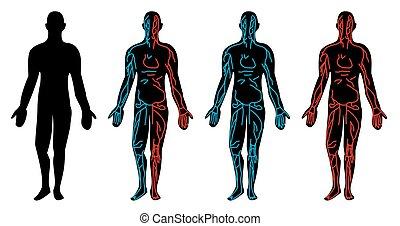 corps, système, humain, circulation