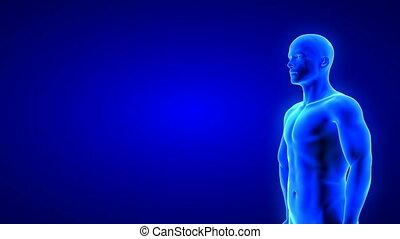corps, transformation, muscle, mâle, fond, animation, bâtiment, fitness, bleu, masse, -