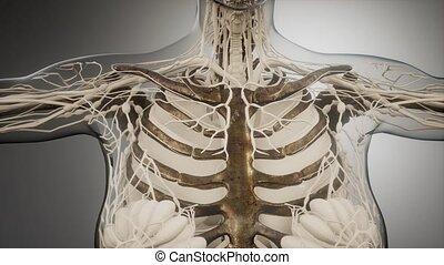 corps, transparent, visible, os, humain
