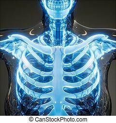 corps, visible, os, transparent, humain