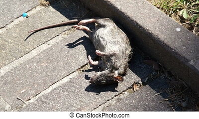 Corpse grey rat on asphalt in Park