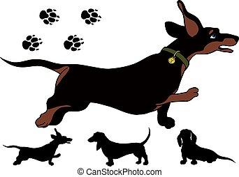 corra, dachshund