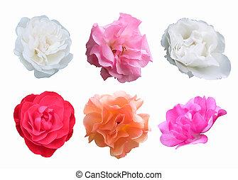 cortando, cor-de-rosa, pêssego, rosas, fundo, branca, caminho, branco vermelho
