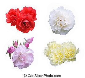cortando, cor-de-rosa, rosas amarelas, fundo, branca, caminho, branco vermelho