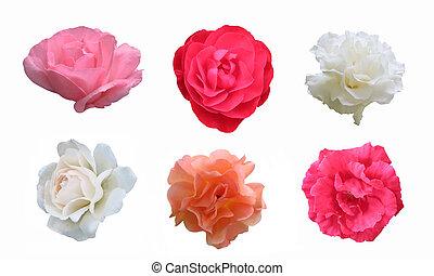 cortando, vermelho, branca, caminho, fundo, rosas, branca, cor-de-rosa, pêssego