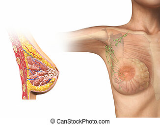 cortante, mulher, diagram., peito