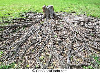corte, morrido, de, árvore banyan, toco, com, raiz, em, campo verde