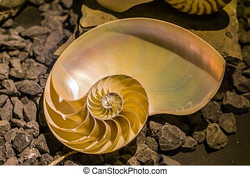 corte, popular, afastado, pérola, nautilus, mãe, concha, cephalopod, chambered