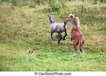 corteggiamento, horses.