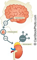 Cortisol diagram vector illustration scheme.