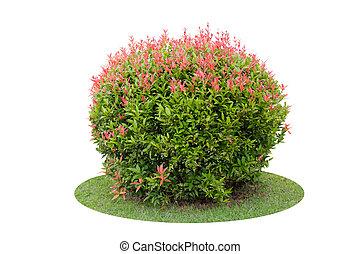 corto, arbusto, colorito, albero, sopra, piccione, isolato, bacca, fondo, bianco
