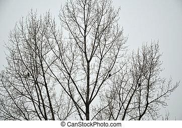 corvi, albero, tre