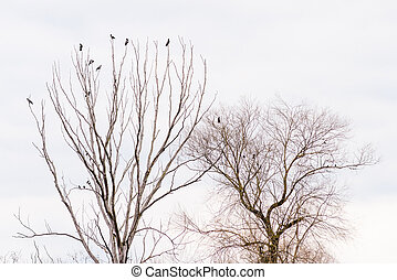 corvi, attesa, albero