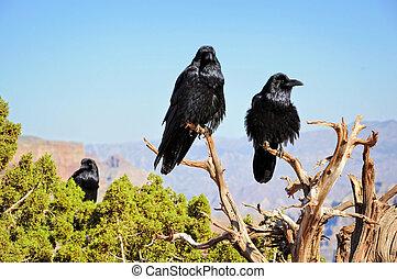 corvi, grande, nero, albero, seduta