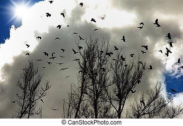 corvi, gregge
