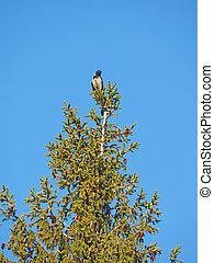 corvo, albero