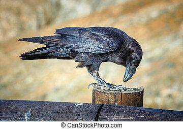 corvo comum, sentando, ligado, um, viga madeira, cima