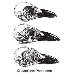corvo, cranio