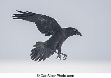(corvus, algemeen, corax), raaf