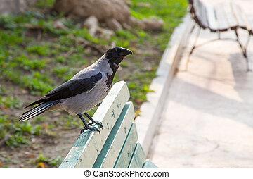 corvus, algemeen, corax, raaf