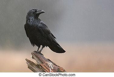 (corvus, corax), raaf