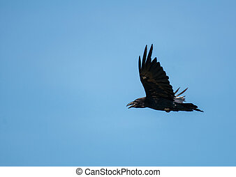 corvus, corax