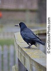 corvus, frugilegus, rook, -