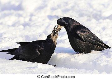 corvus, frugilegus, rook, sneeuw