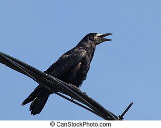 corvus, frugilegus, rook
