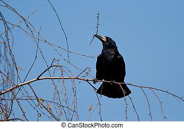corvus, frugilegus