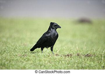 corvus, kreng, corone, kraai