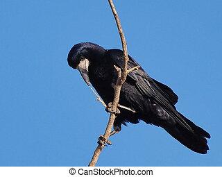 corvus, prooi, rook, frugilegus