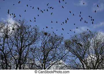 corvus, rook, frugilegus