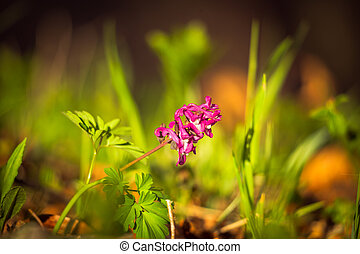 Corydalis cava, pink flower on a blurred background.