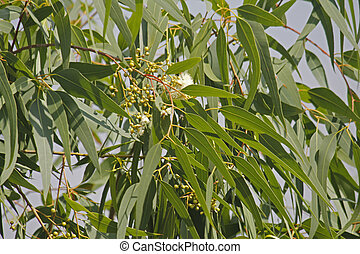 Corymbia citriodora, Lemon Scented Gum is a very fast...