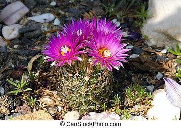 Coryphantha Vivipara - Closeup shot of a blooming cactus...