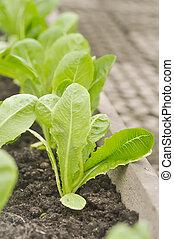 cos lettuce in the vegetable garden, cos lettuce