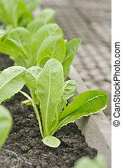 cos lettuce in the vegetable garden
