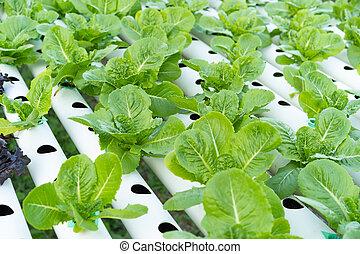 cos, romaine, hydroponic, salade verte
