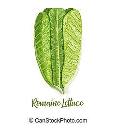 cos salade, licht, lactuca, vrijstaand, sla, sativa, groene achtergrond, romaine, fris, schaduw, witte