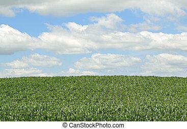 cosecha maíz