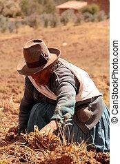 cosecha, perú, papa