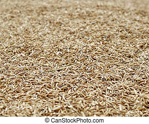 cosechado, arroz, ser, secado